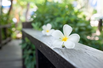 Plumeria Flower on wood ,Defocused tropical flowers frangipani on wood