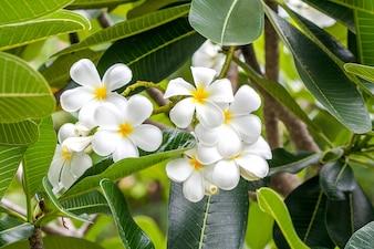 Plumeria flower white tropical flower