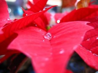 Poinsettia and Water Drop