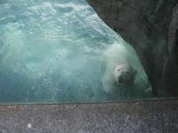 Polar bear, polarbear