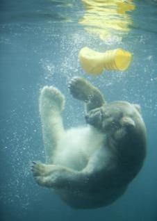 Polar bear, water