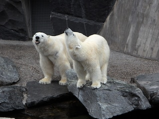 polar bears zoo bear pets wild animal