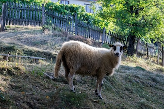 白い羊の肖像画。家畜。