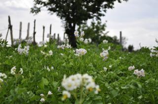 potato grass