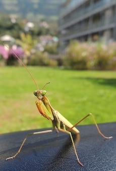 Praying locust insect macro mantis fishing