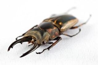prosopocoilus zebra beetle