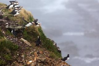 puffin  nature  heritage