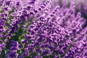 Purple lavender closeup background