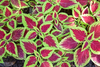 Purple leaves with green border