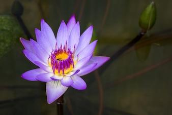 池の紫の蓮の花