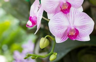 Фиолетовый цветок орхидеи фаленопсиса