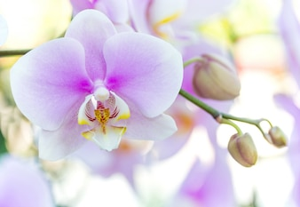 紫色の胡蝶蘭の花
