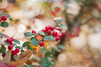 Pyracantha Firethorn orange berries with green leaves. Autumn rowan tree with red berries and colorful leaves. Selective focus