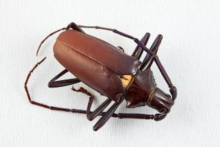 pyrodes longiceps beetle  shell