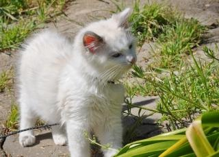 Ragdoll kitten outside