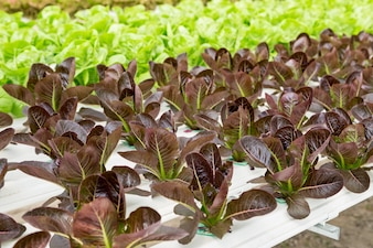 Red cos lettuce salad plant in the hydroponic system