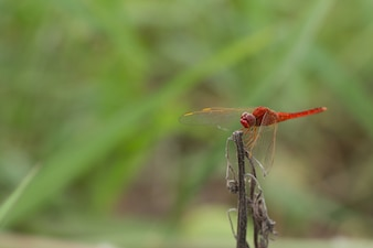 Красный дракон летает