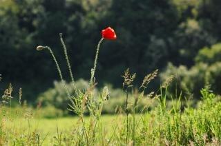 Red poppy, red