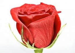 red rose   sun