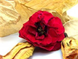 赤は、夏のバラ