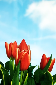 Red tulip with clouds