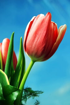 Red tulip with sky background