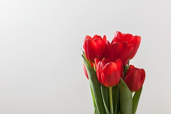Red tulips in a white background