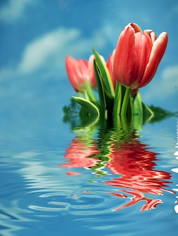 Red tulips reflected in water