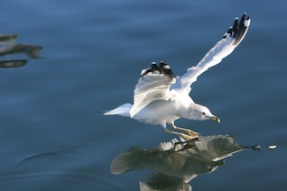Reflected seagull