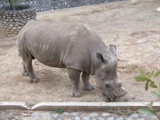 Rhino, large