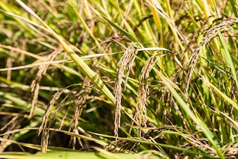 Rice field ready for harvest,close up