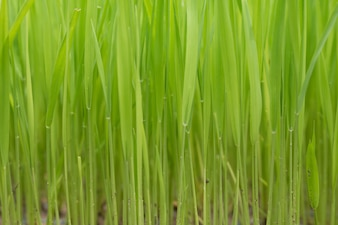 Rice seedlings,The beginning of a rice plant or Rice plant.
