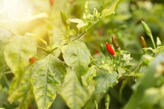 植物に熟したホットチリペッパー