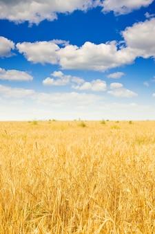 Rye field and cloudy sky