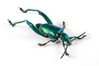 sagra femorata beetle  cyan