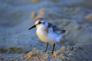 Sandpiper, marsh