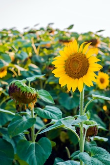 Scenic wallpaper with a close-up of sunflower against green background with flowers. Big beautiful sunflowers outdoors.