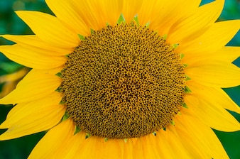 Scenic wallpaper with a close-up of sunflower against green background with flowers. Close up of sunflower, selective focus on blurred background