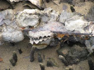 Sea shells, white