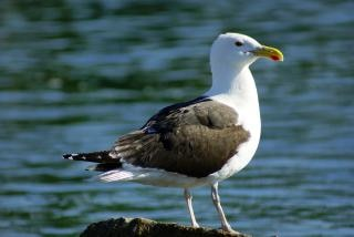 Seagull, freedom