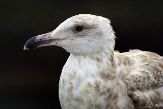 Seagull, pattern
