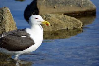 Seagull, wings