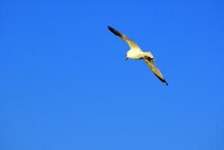 Seagull In Flight, animals