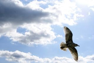 Seagull In Flight 1
