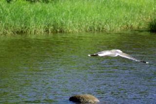 Seagull In Flight, calm