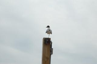 Seagull, stocks