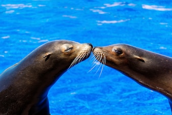 Seals kissing with water background
