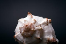 seashell   close up