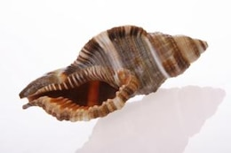 seashell   conch