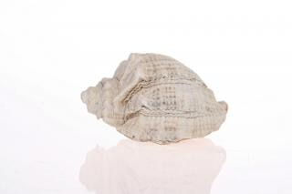 seashell, isolated